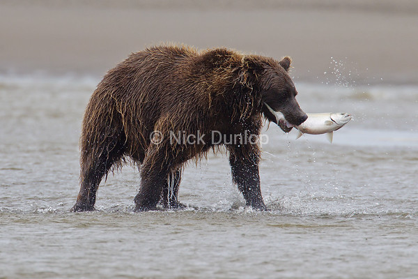 Alaska Coastal Brown Bear with a Silver Salmon, Katmai Coast September 2012