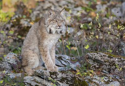 Fall Lynx