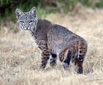 Bobcat in the backyard