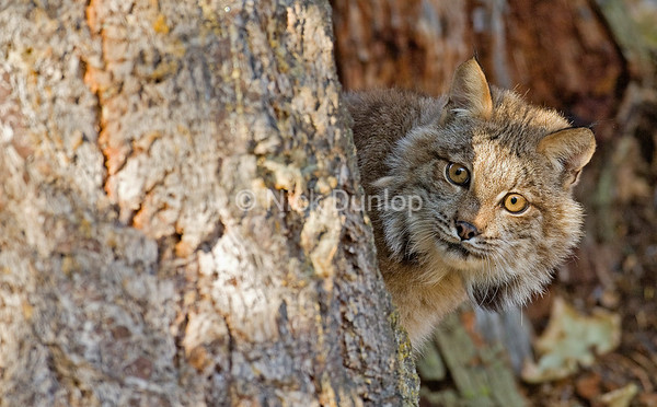 Young Lynx 2