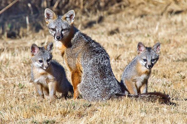 Grey Fox family in the backyard