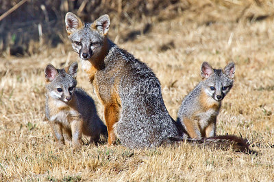 Grey Fox family in the backyard