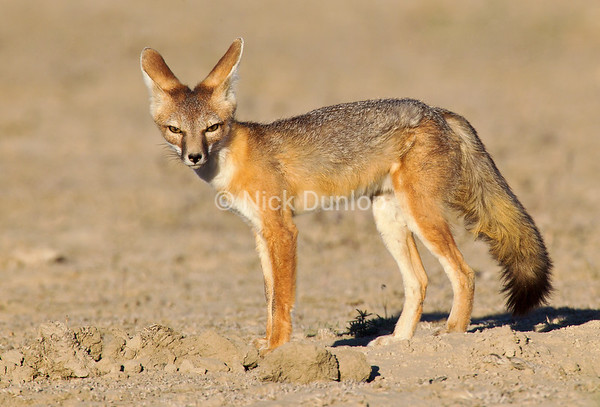 Nevada Kit Fox