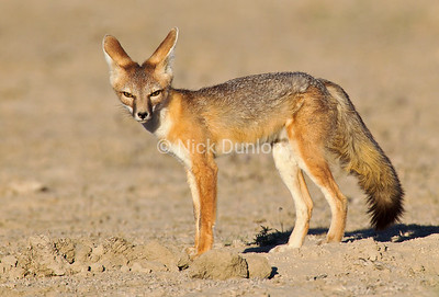 Nevada Kit Fox