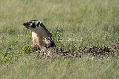 Wyoming Badger 1