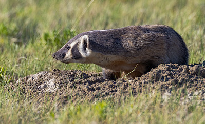 Wyoming Badger 2