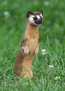 Local Weasel 1