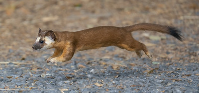 Local Weasel 3