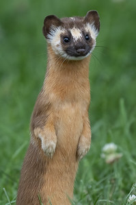 Local Weasel 2