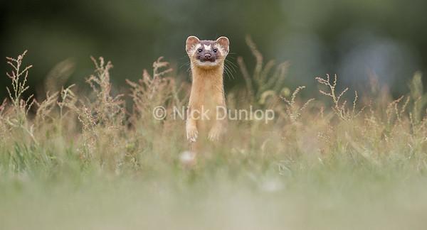 Weasel Portrait