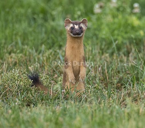 Weasel Portrait 2