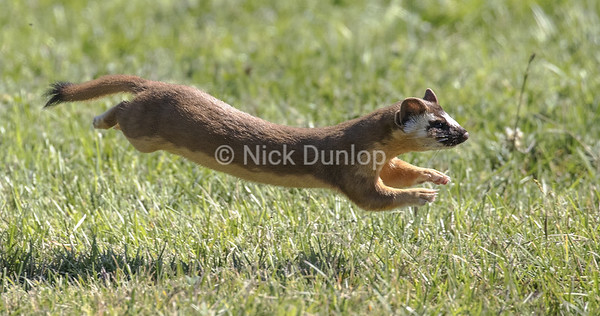 Leaping Weasel 7