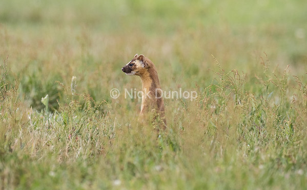 Hunting Weasel