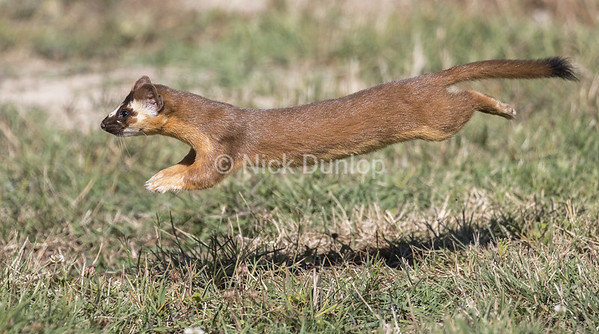 Leaping Weasel 6