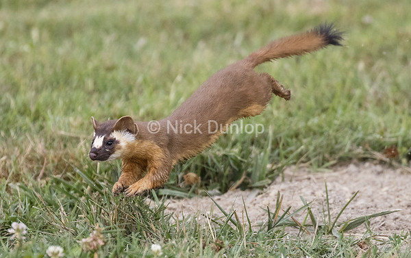Leaping Weasel 10