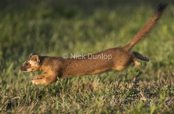 Evening Weasel 1