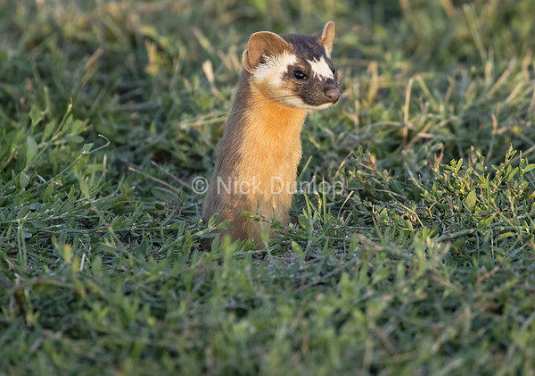 Evening Weasel 2