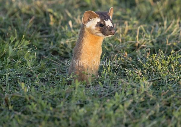 Evening Weasel 2