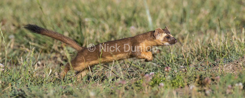 Leaping Weasel 1