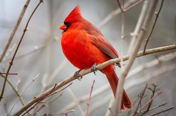 Male Cardinal 4:  Marion County, Indina