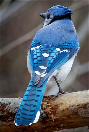 Blue Jay 2:  Indiana