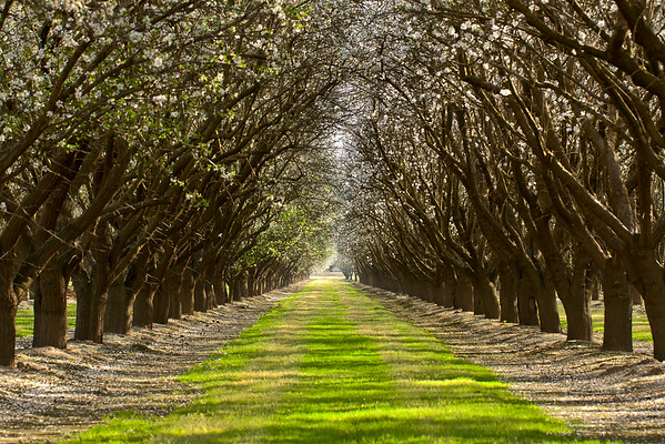 Almond Orchard II