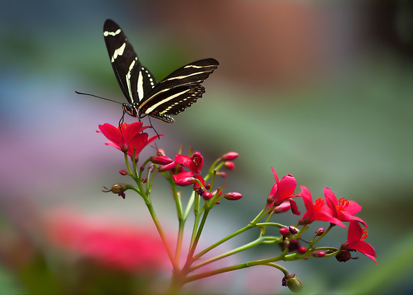 Zebra Butterfly:  White River Gardens - Indianapolis, IN