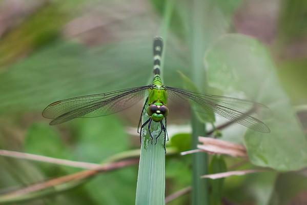 Pondhawk Dragonfly:  Illinois
