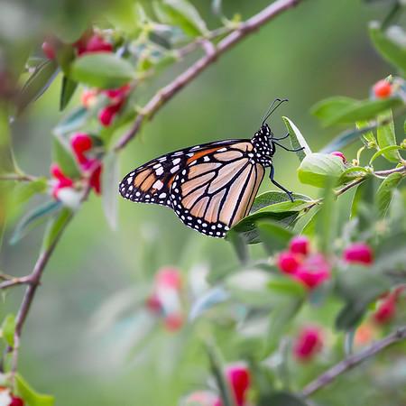 Monarch 1: Indiana