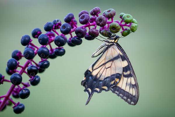 Yellow Swallowtail:  Howell, Michigan
