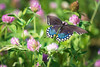 Spicebush Swallowtail with Clover