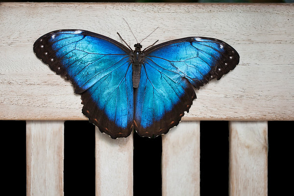Bue Morpho 2:  White River Gardens, Indianapolis, IN