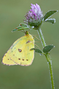 Yellow Sulphur:  Howell, MI