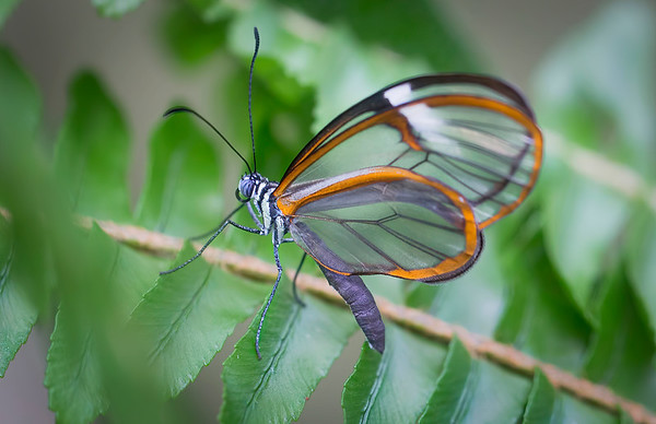 Glasswinged Butterfly:  White River Gardens -Indianapolis, IN
