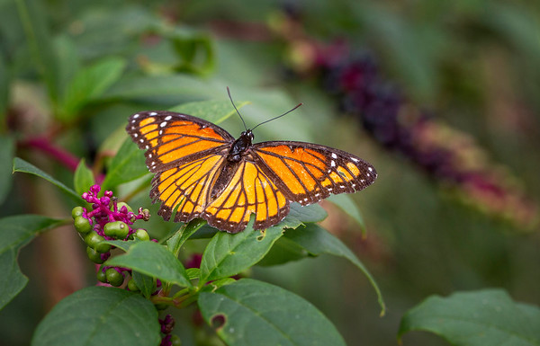Viceroy Butterfly:  Indiana