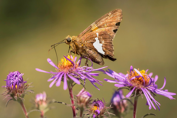 Silver Spotted Skipper:  Indiana