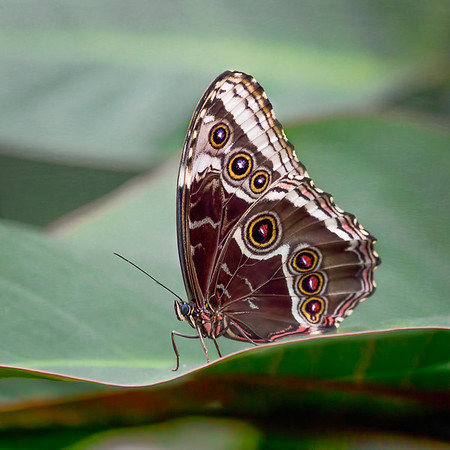 Blue Morpho 3:  White River Gardens - Indianapolis, IN