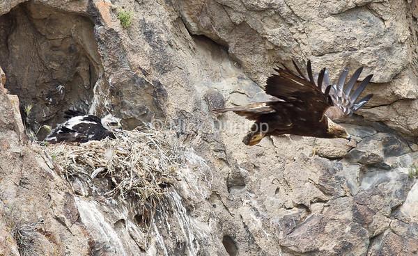 Cave nesting eagle 2