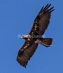 Golden Eagle with Gopher Snake