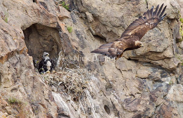 I often find eagles nesting in caves which provide shade to the young.