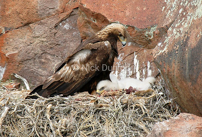 A proud mother. Female goldens stay in the nest with their young most of the time when they are small.