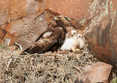 Female Golden Eagle with downy young