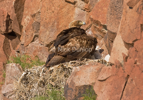 Momma eagle shading her young during midday sun