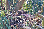 Incubating female, a jackrabbit alongside ready to feed the 2 small eyasses that can't be seen