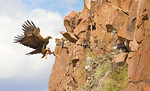 Female golden eagle returning to her nest with prey (young coyote)
