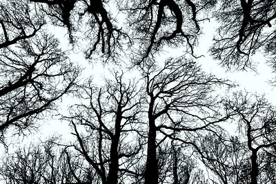 Trees in Ashridge, Herts