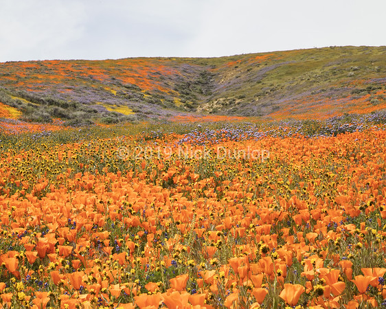 Antelope Valley Poppy Preserve 3