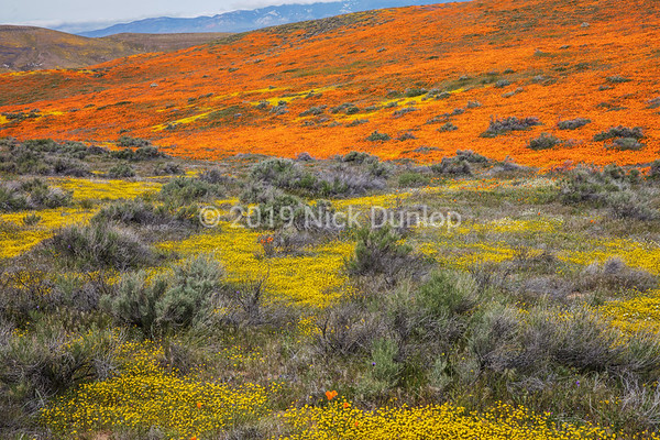 Antelope Valley Poppy Preserve 1