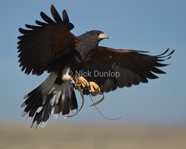 Image to be used for the Utah Falconry Exam Prep EBook