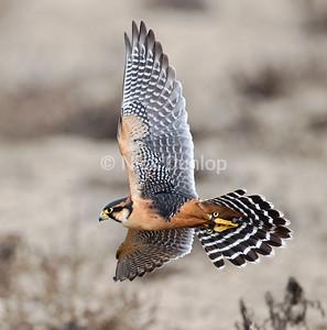 Southern race of an Aplomado Falcon.